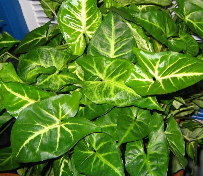 arrowhead-plant
