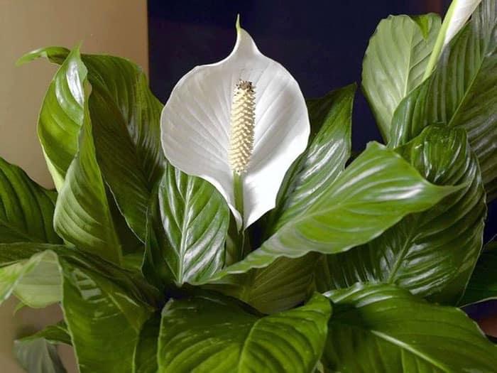peace-lily-or-mauna-loa-plant