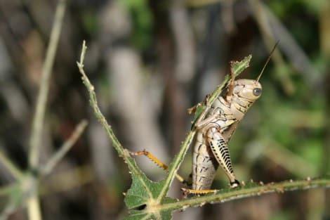 grasshopperpest