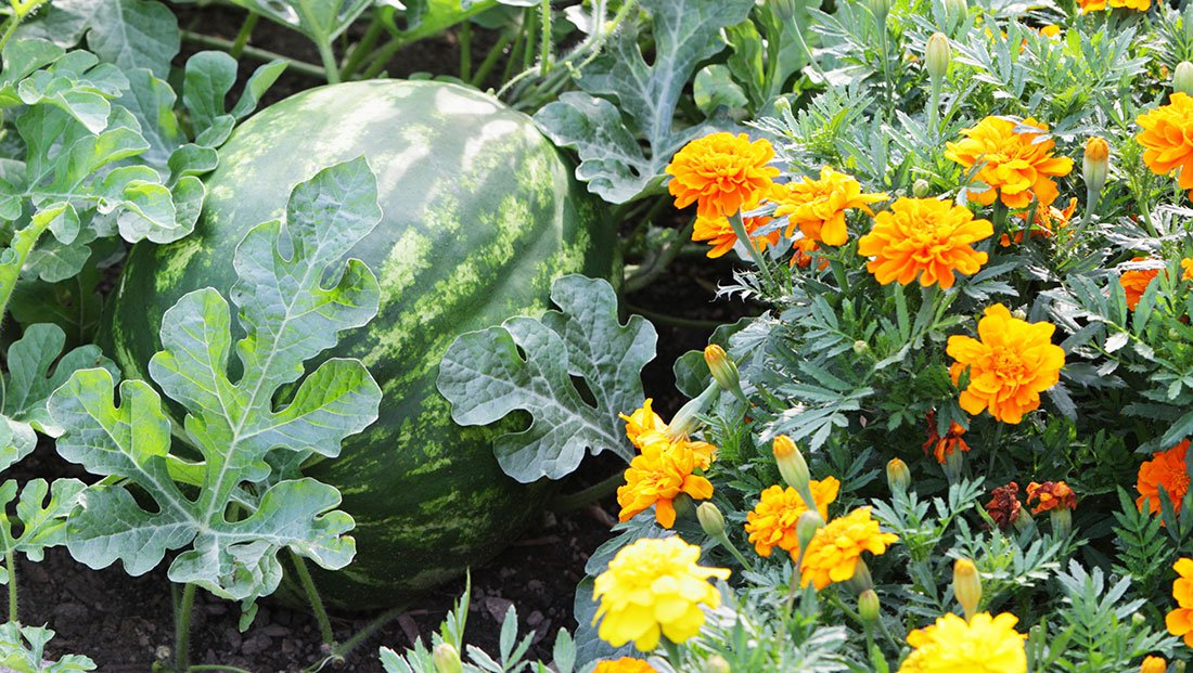 26 plants you should always grow side by side Flowers to plant in vegetable garden