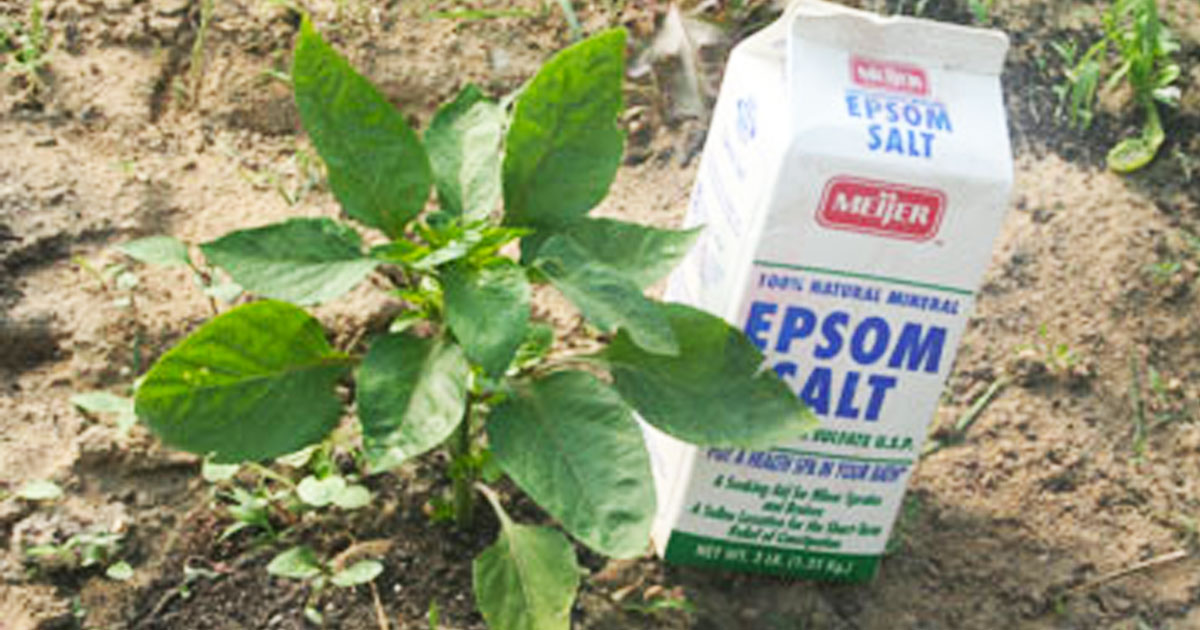 neat_ways_to_use_epsom_salt_in_the_garden_featured