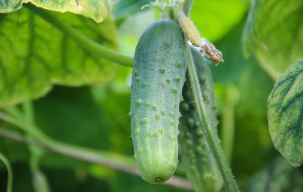 cucumbertips-varieties-1000