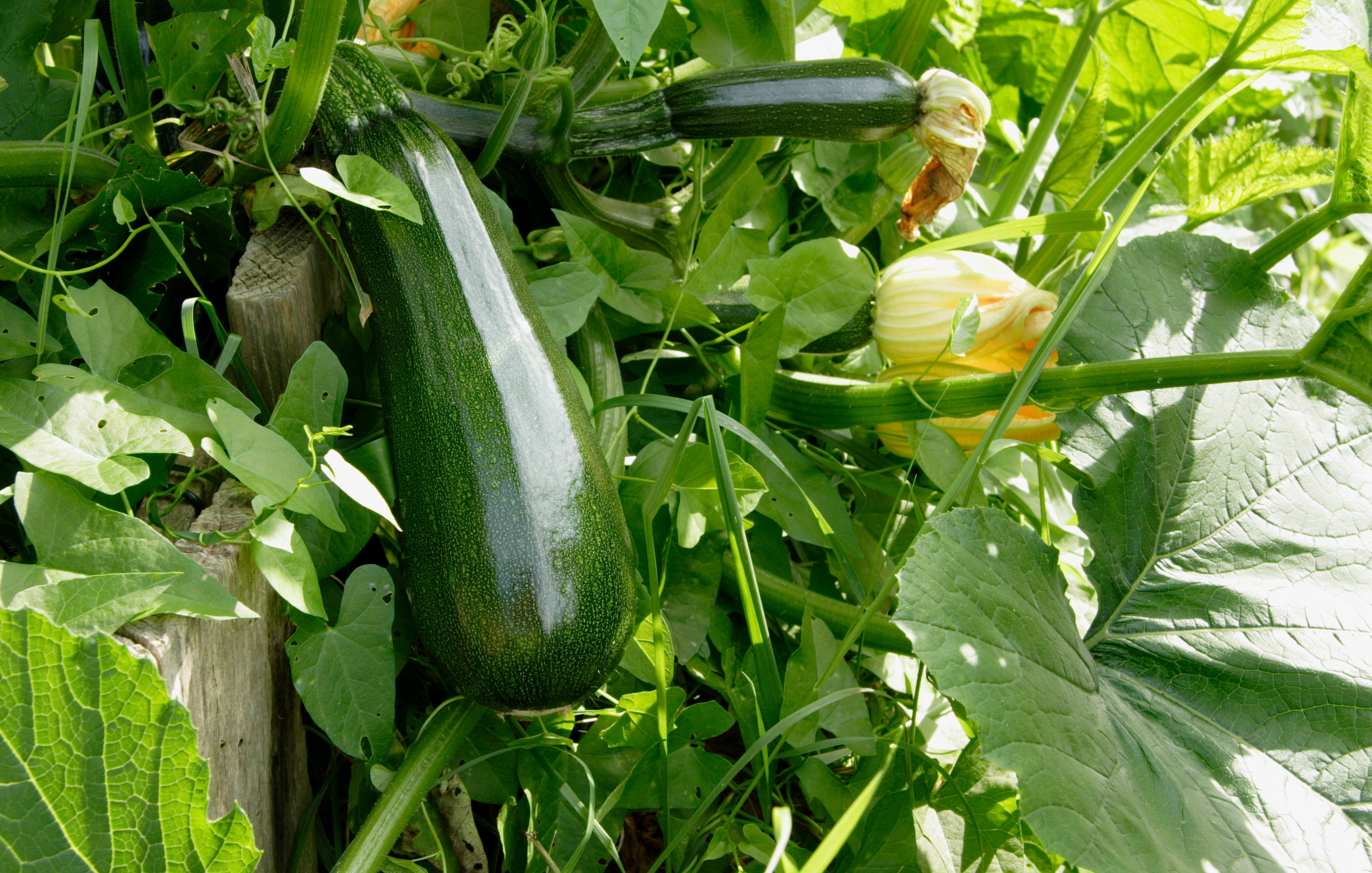 grow-delicious-zucchini