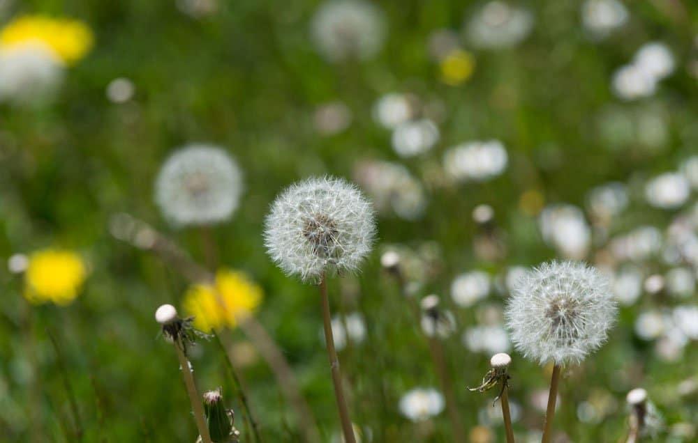 weeds-dandelion-1000