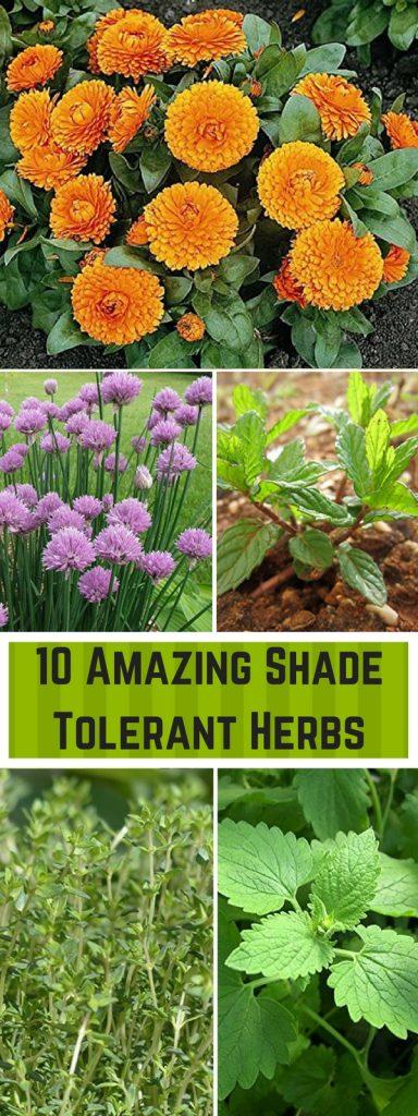 10 Amazing Shade Tolerant Herbs