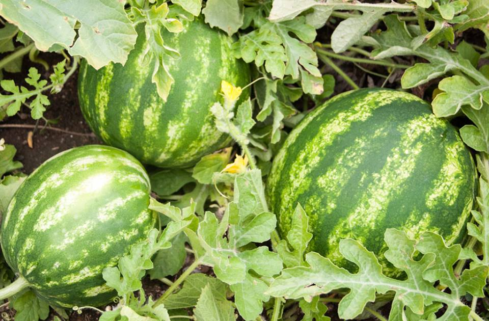 15-tips-growing-melons