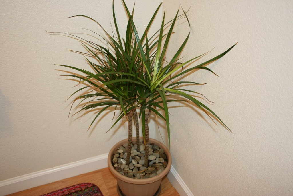 2-41 Types Of Tree Palm House Plant List on house plant umbrella tree, indoor palm plants types, like palm plants types, house with palm trees, dracaena house plant types, house plants that look like trees, lady palm tree types, house plant schefflera actinophylla, indoor ponytail palm tree types, small indoor palm tree types, identify tree types, house plants palms identify, house plants at lowe's, house plant rubber tree, south florida palm tree types, double trunk palm tree types, home plants types, house plant banana tree, palm names types,