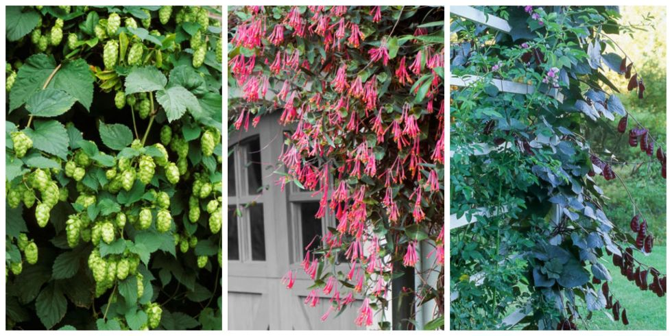 10 Fast Climbing Flowering Vines For Your Garden