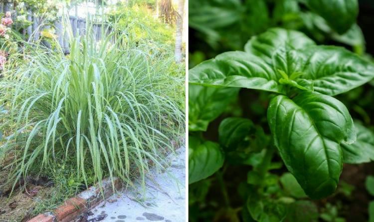 6-fragrant-herbs-plants