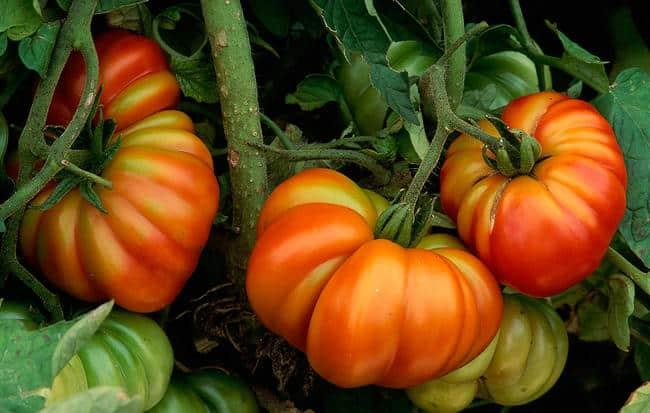 7-rules-tomato-plants