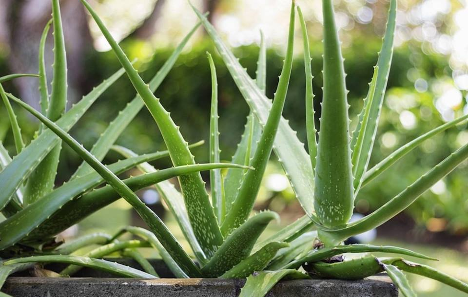 Best tips for growing and caring for aloe vera plant - Aloe vera plant care tips beginners guide ...