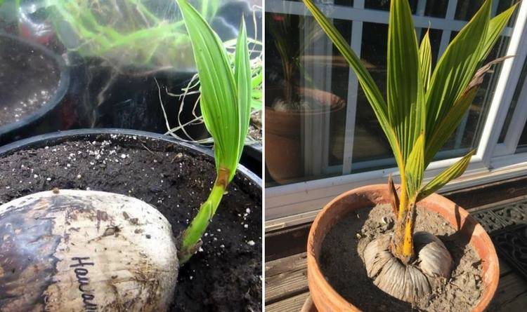 growing-coconut-palms