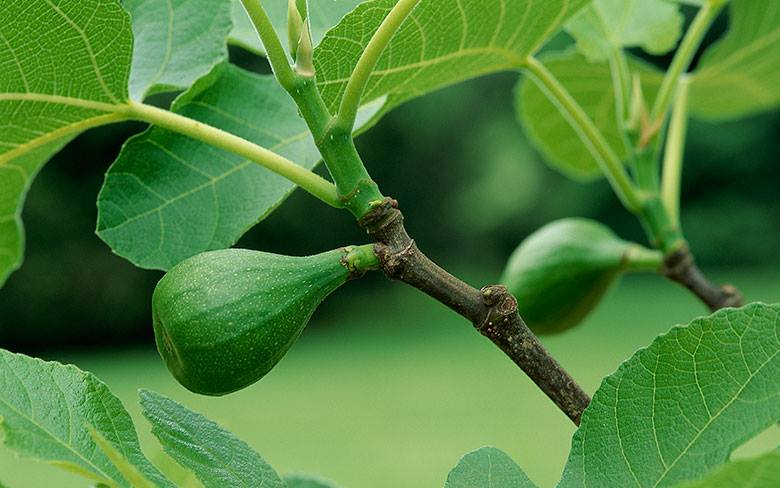 growing-figs