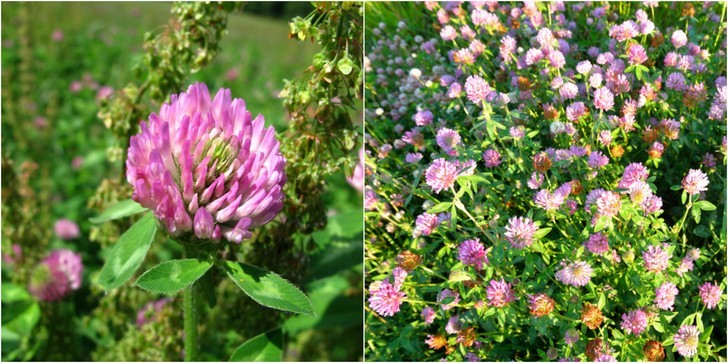 growing-red-clover-reasons