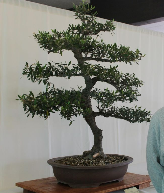 grow these 25 most popular bonsai trees