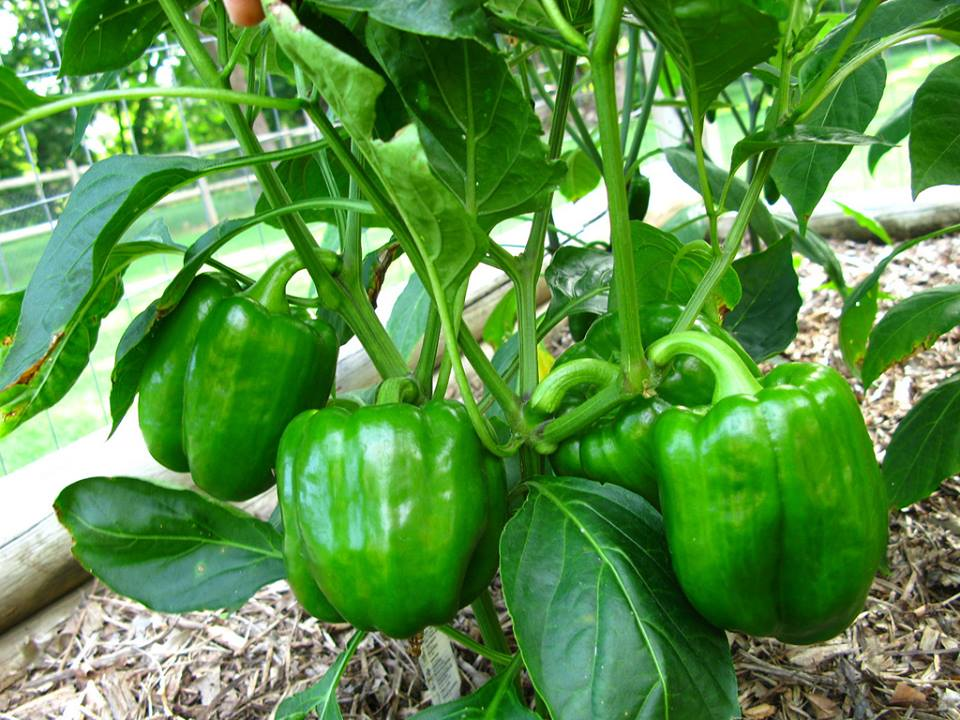 3-tips-best-peppers