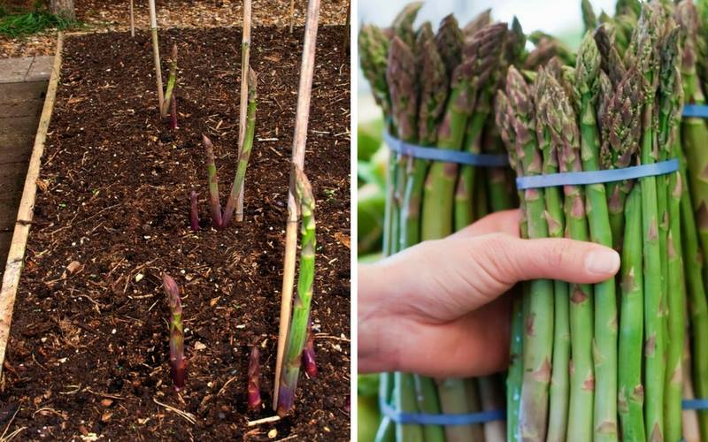 Best Tips For Growing Asparagus In Raised Beds