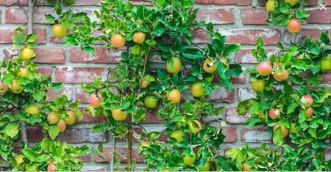 fruit-trees-for-hedges