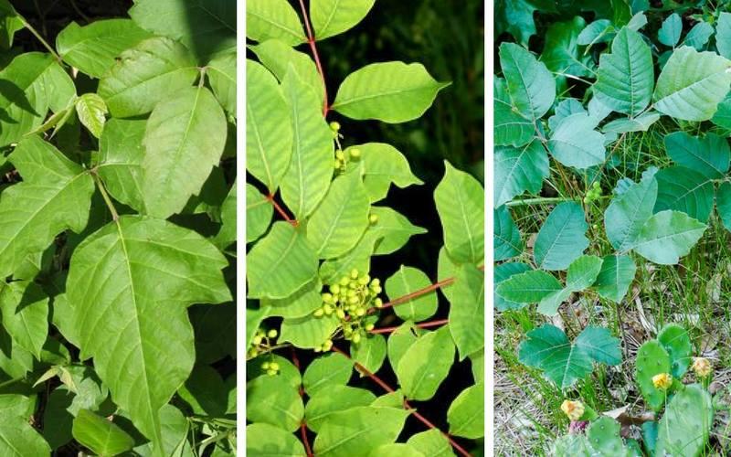 get-rid-off-poison-ivy