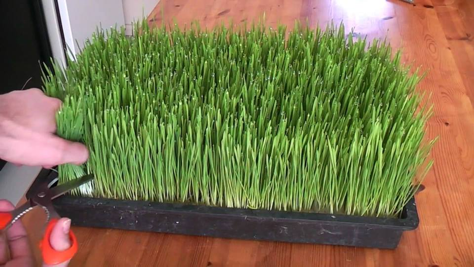 how-to-grow-wheatgrass