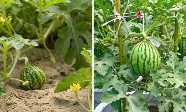 tips-for-growing-watermelon
