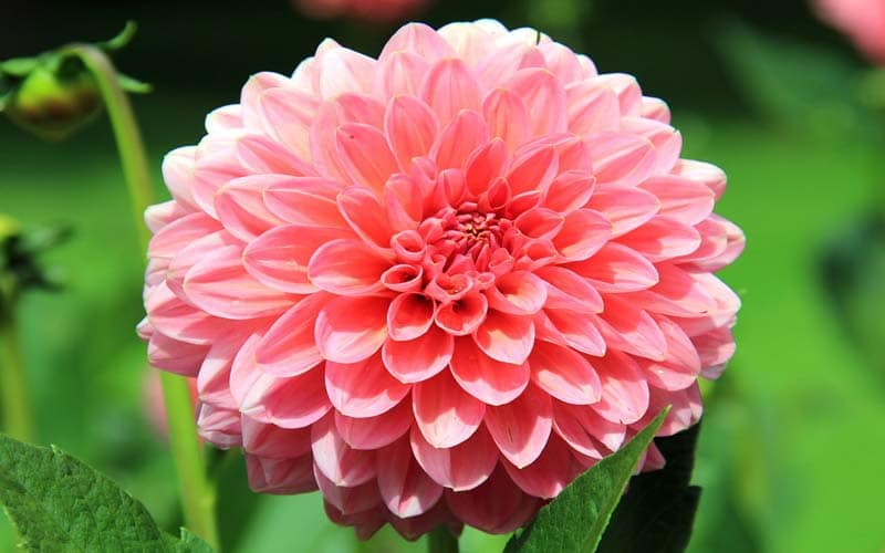 Are these the worlds top 13 most beautiful flowers 4 dahlia mightylinksfo