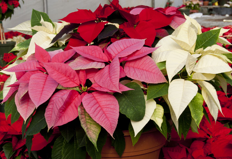 10-tips-poinsettia-plants