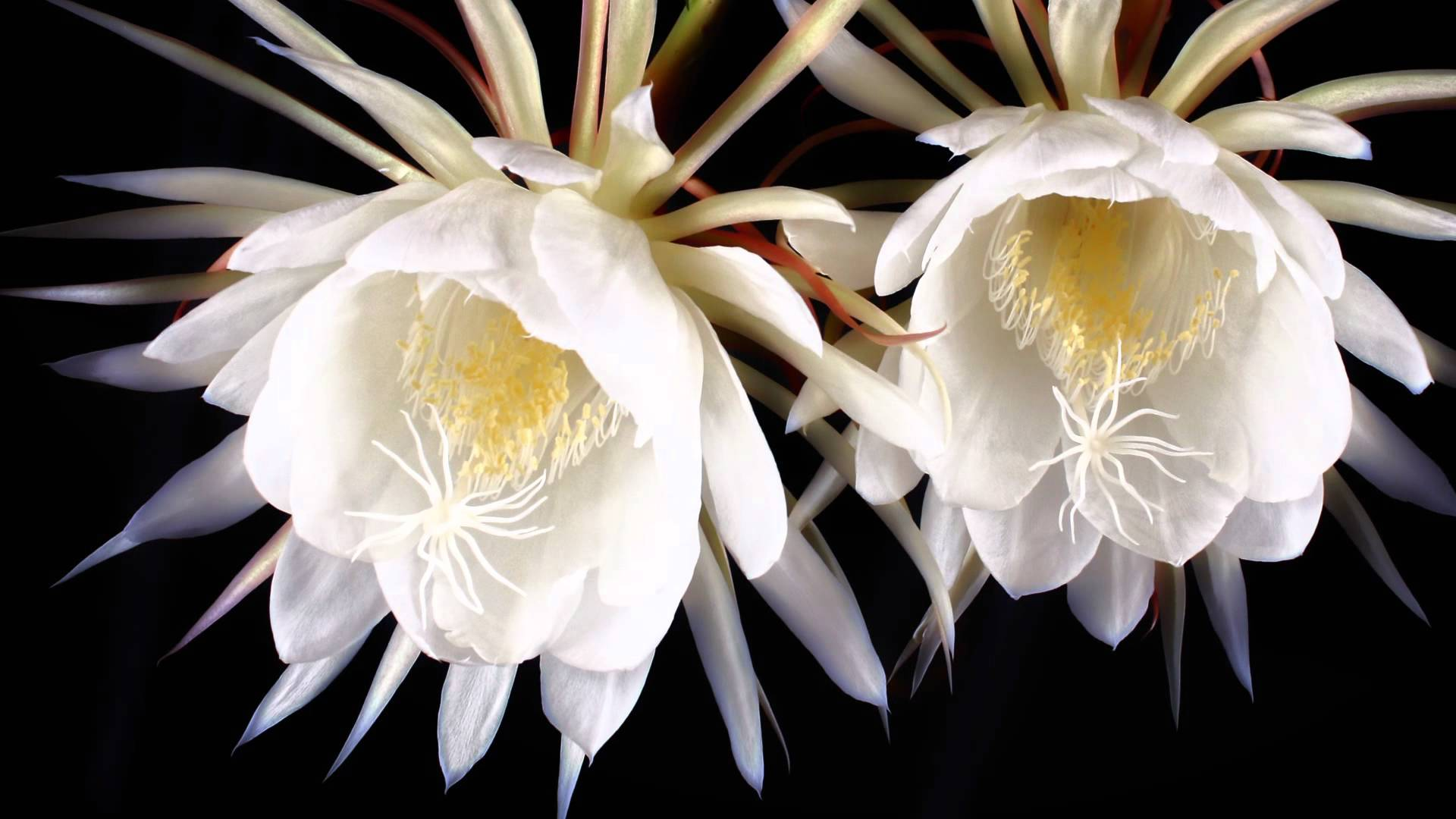 Are these the worlds top 13 most beautiful flowers kadupul flower izmirmasajfo