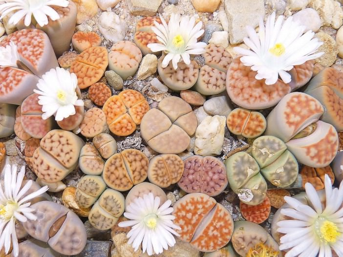 growing-lithops