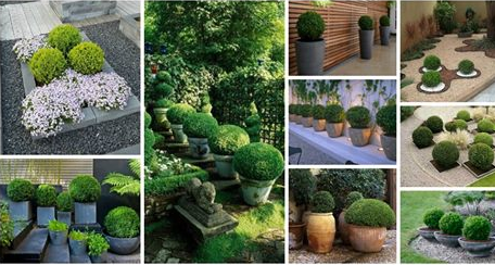 boxwood-plants-growing
