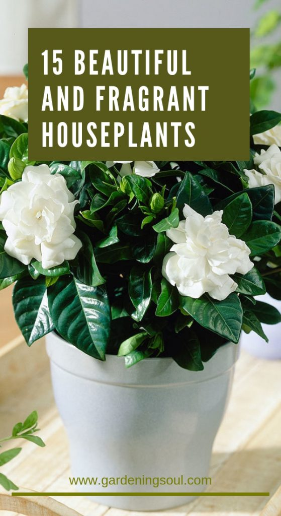 15 Beautiful and Fragrant Houseplants