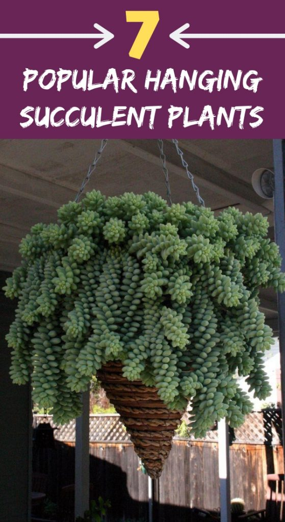 7 Popular Hanging Succulent Plants