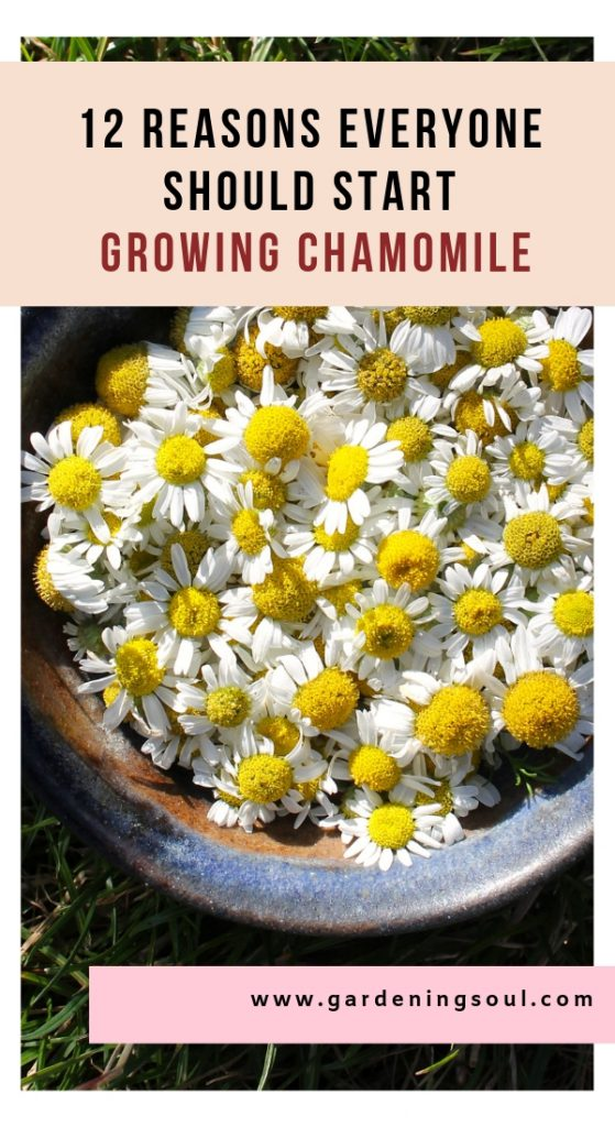 12 Reasons Everyone Should Start Growing Chamomile