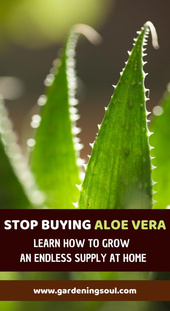 Stop Buying Aloe Vera. Learn How to Grow an Endless Supply at Home
