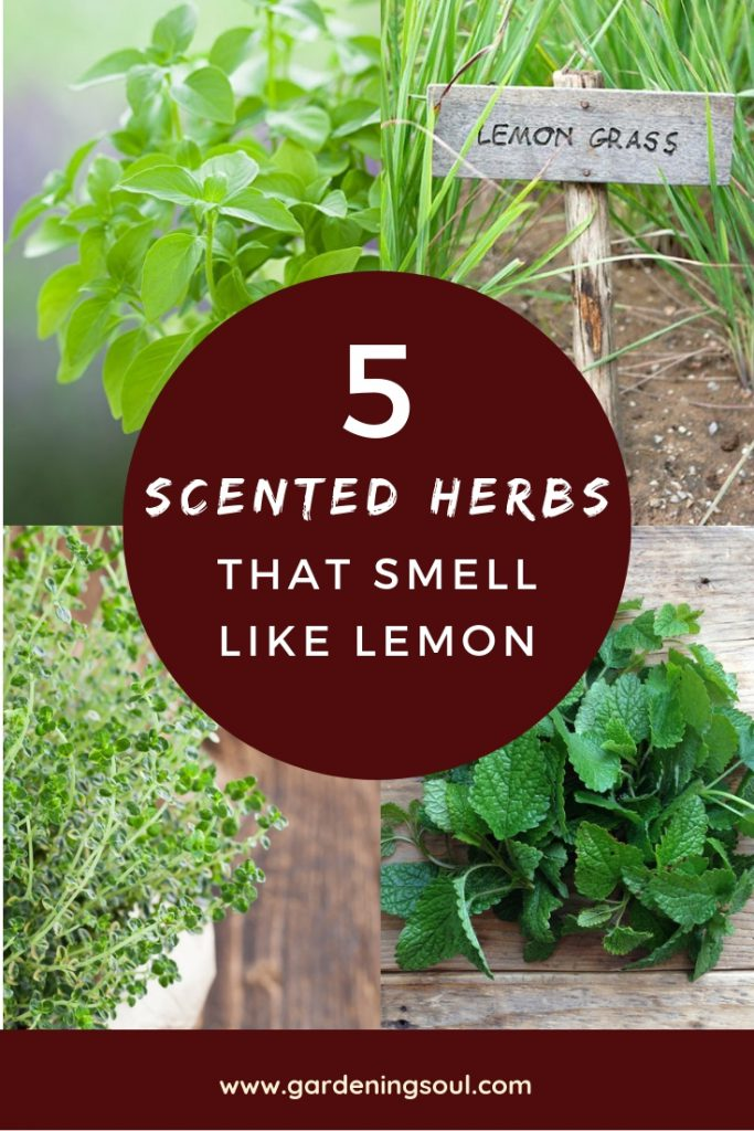 5 Best Scented Herbs That Smell Like Lemon