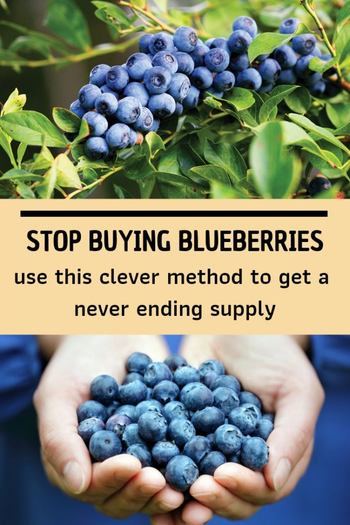 Stop Buying Blueberries- Use This Clever Method To Get A Never Ending Supply