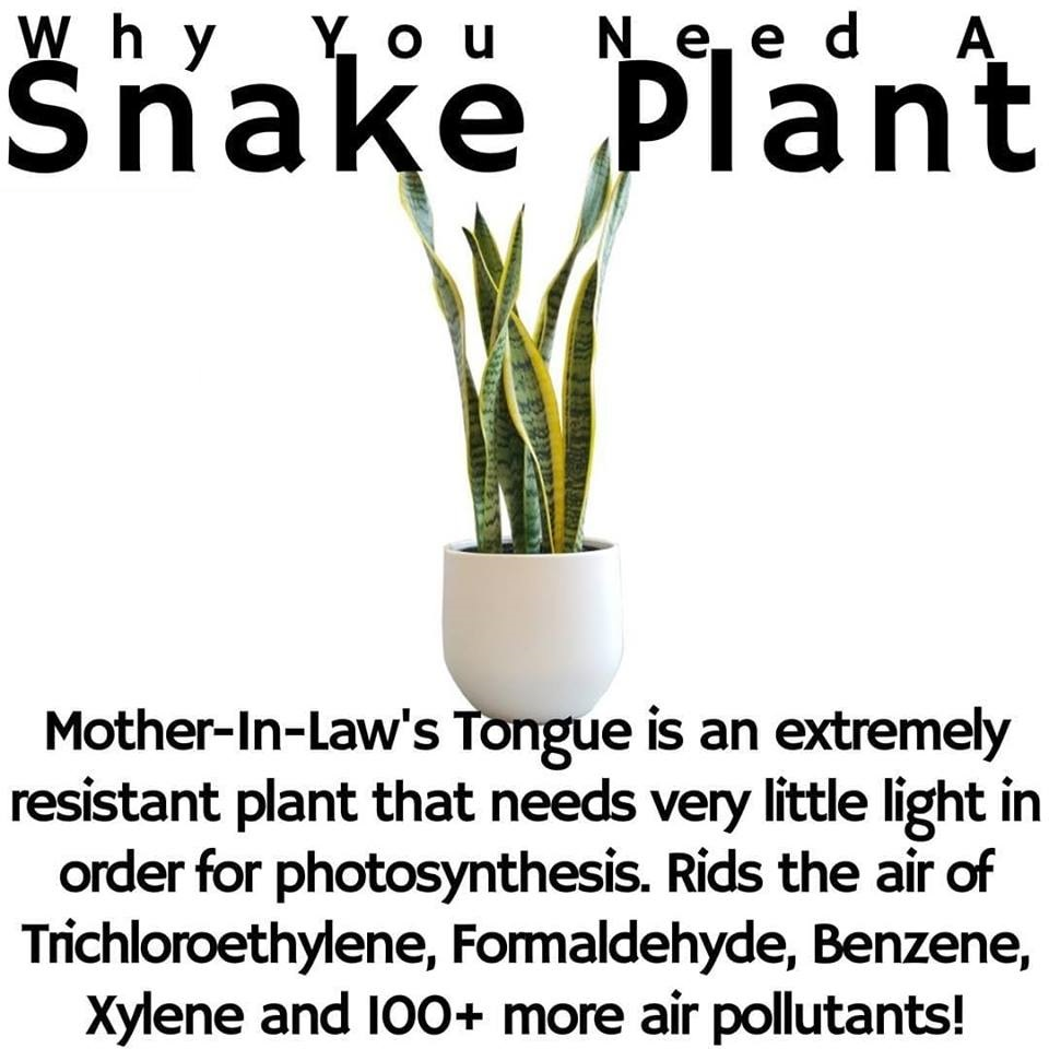 Sansevieria Plant Feng Shui 6 great snake plant benefits proven in research & studies