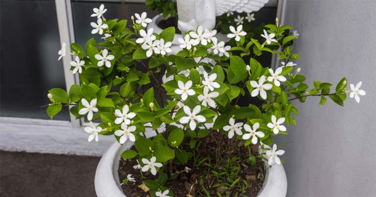Keep Jasmine Plant in Your Room. Jasmine Reduces Anxiety, Panic Attacks, and Depression