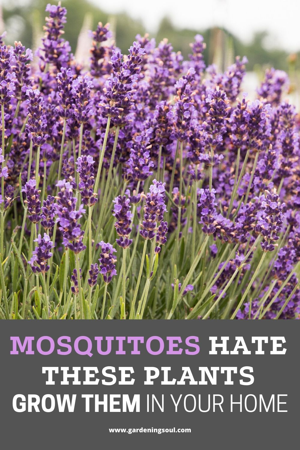 Mosquitoes Hate These Plants Grow Them In Your Home